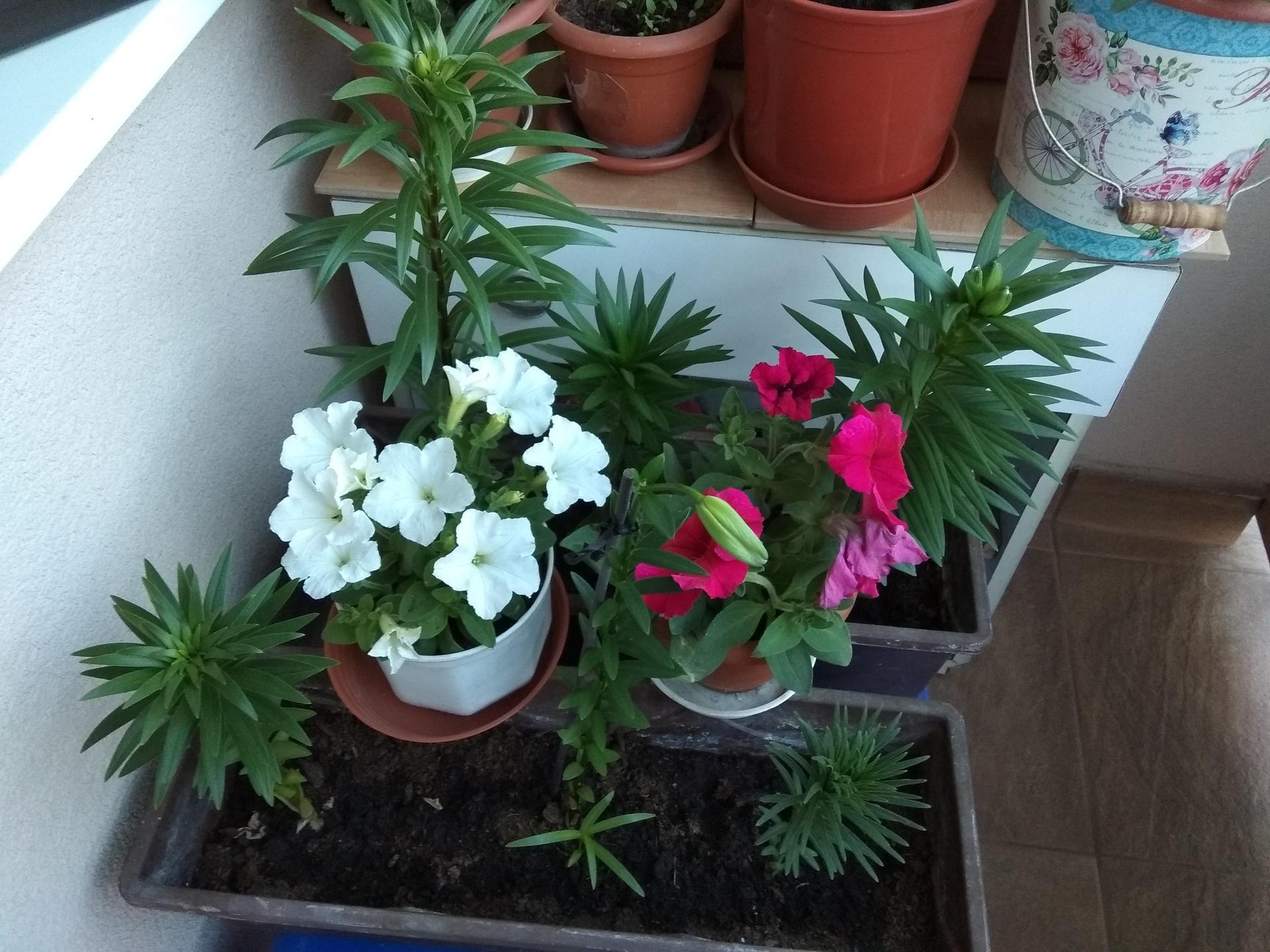 Moje balkónové kvetinkové miš - maš 🙂🌻🥀🍀🌸 - Obrázok č. 41