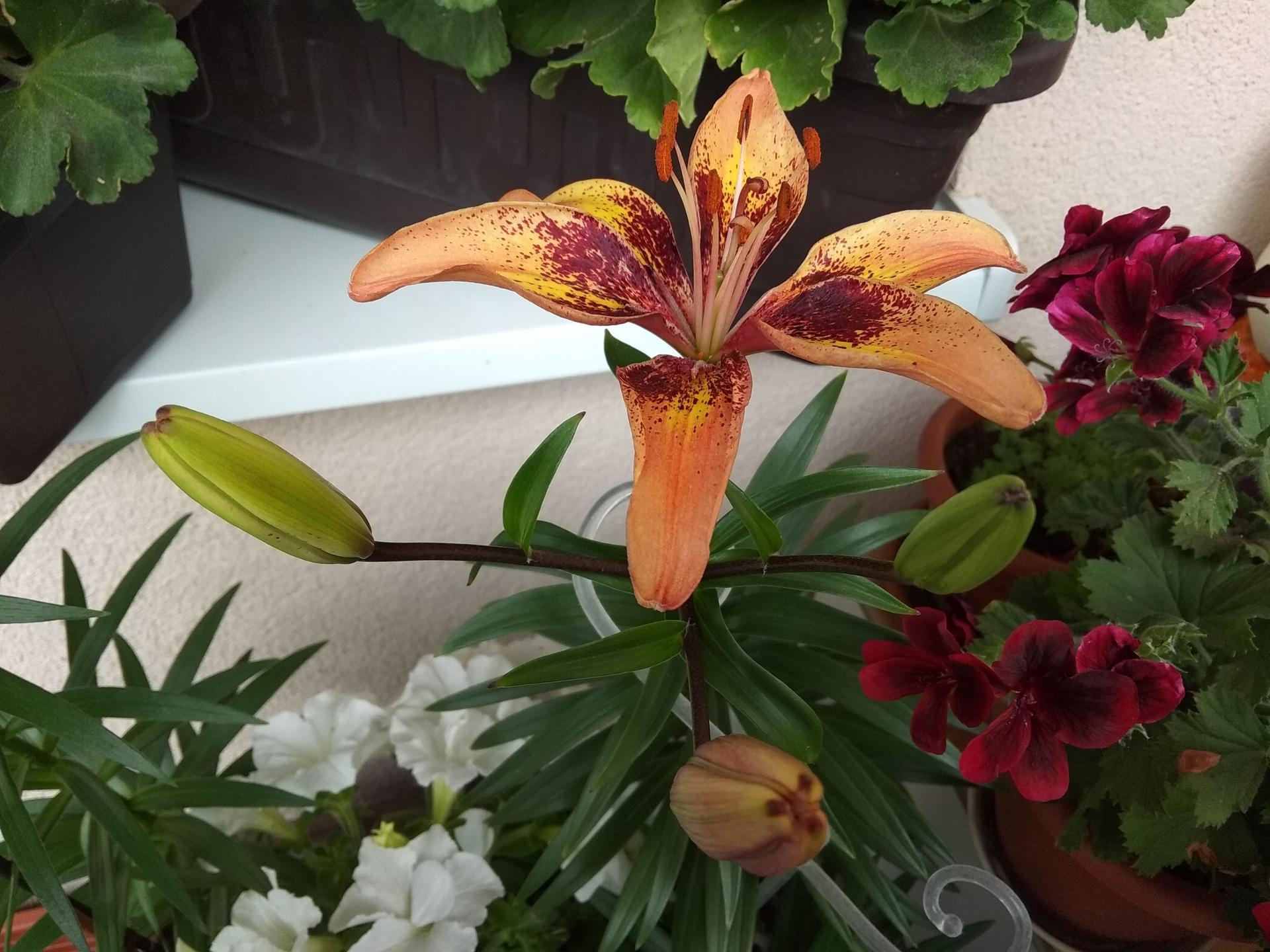 Moje balkónové kvetinkové miš - maš 🙂🌻🥀🍀🌸 - Obrázok č. 3