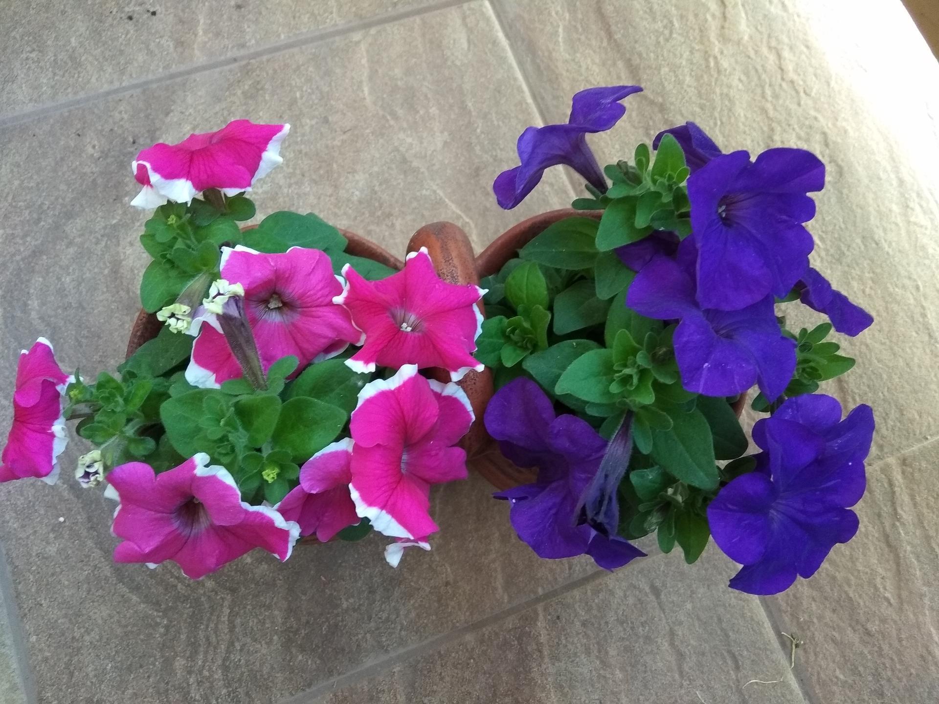 Moje balkónové kvetinkové miš - maš 🙂🌻🥀🍀🌸 - Obrázok č. 15
