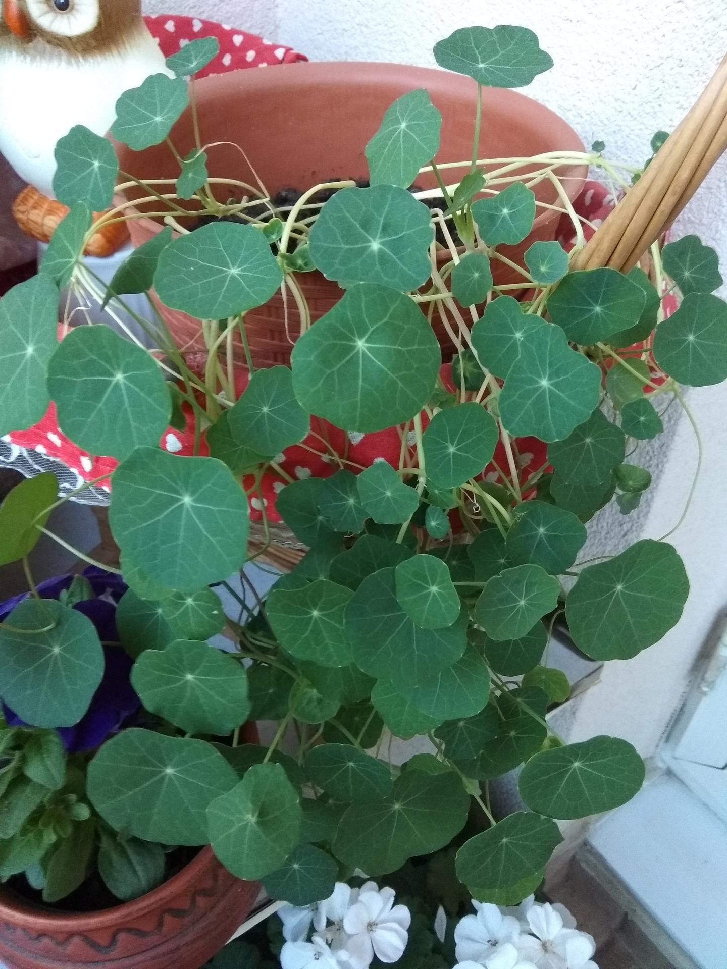 Moje balkónové kvetinkové miš - maš 🙂🌻🥀🍀🌸 - Obrázok č. 44