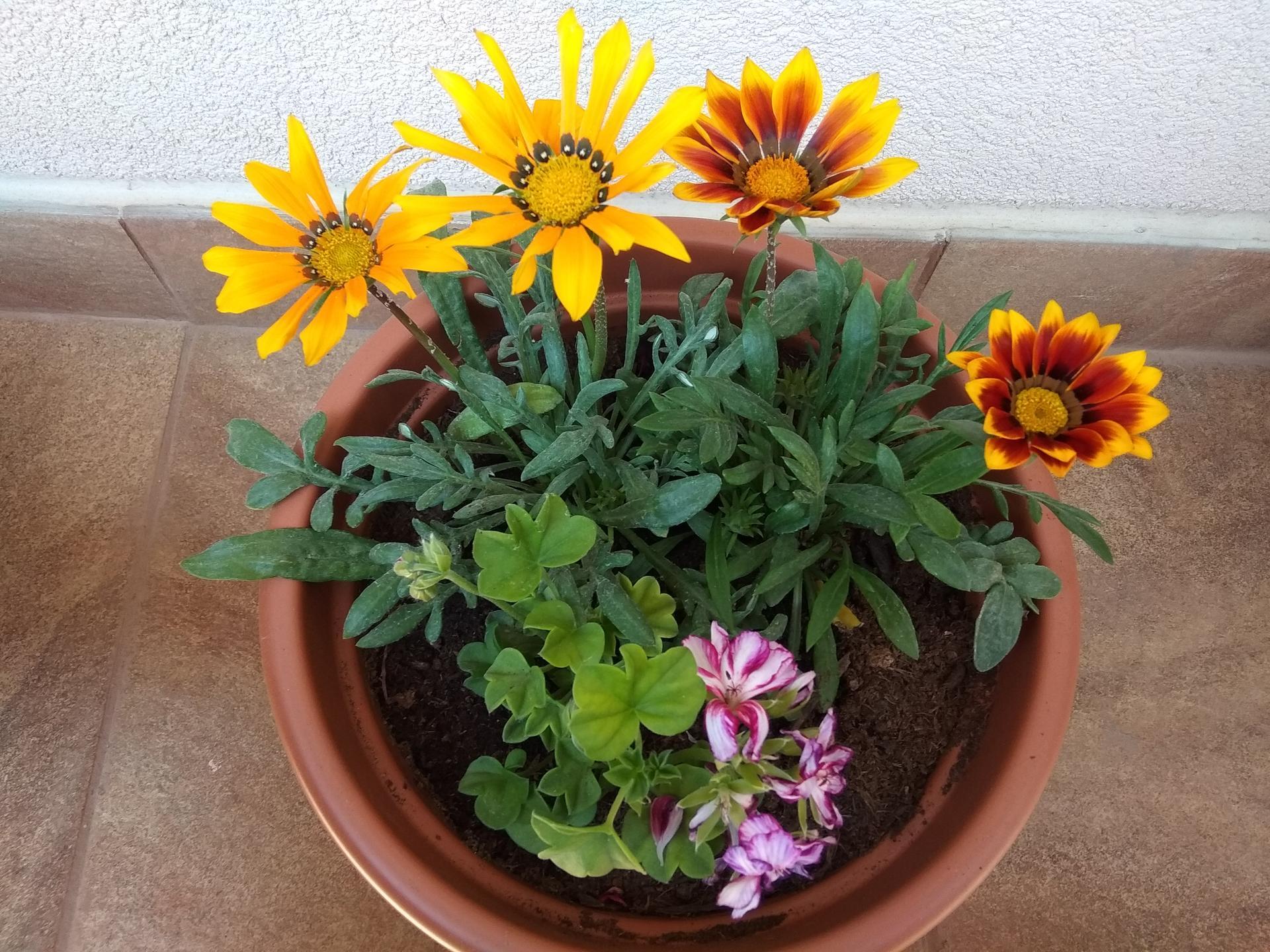 Moje balkónové kvetinkové miš - maš 🙂🌻🥀🍀🌸 - Obrázok č. 8