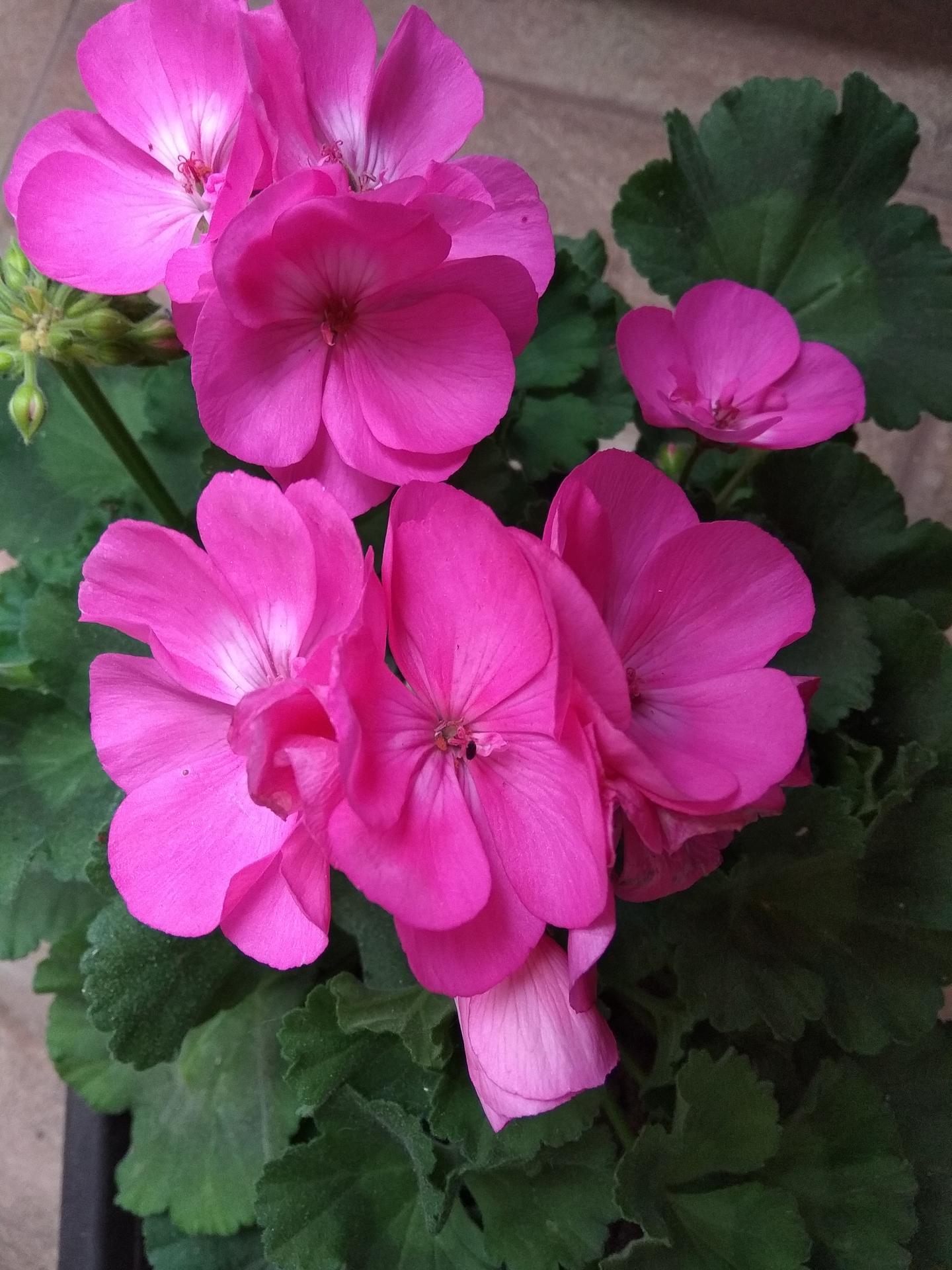 Moje balkónové kvetinkové miš - maš 🙂🌻🥀🍀🌸 - Obrázok č. 6
