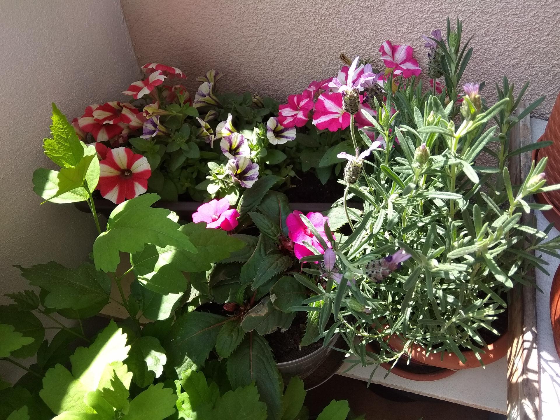 Moje balkónové kvetinkové miš - maš 🙂🌻🥀🍀🌸 - Obrázok č. 39