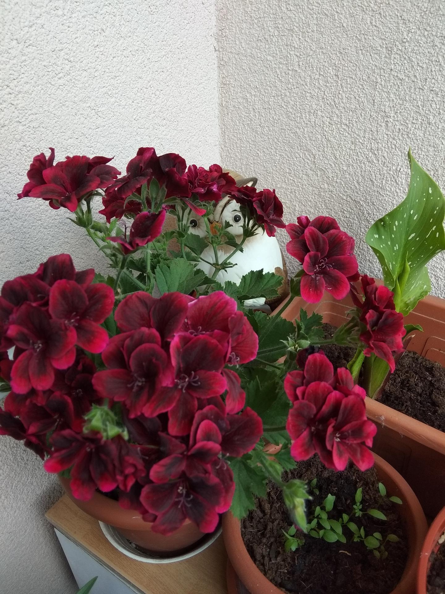 Moje balkónové kvetinkové miš - maš 🙂🌻🥀🍀🌸 - Obrázok č. 32