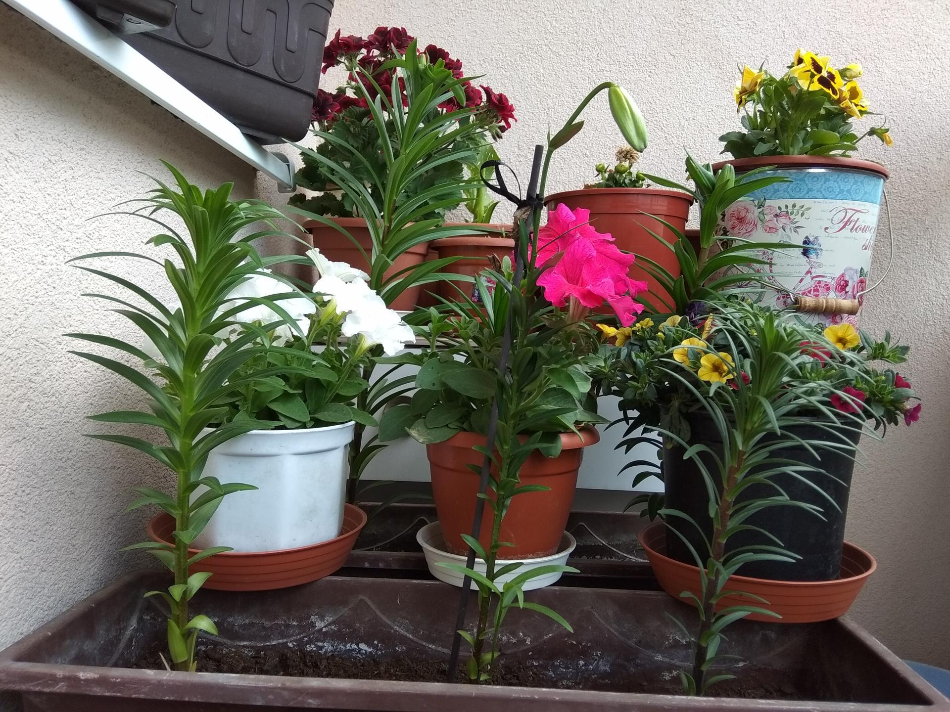 Moje balkónové kvetinkové miš - maš 🙂🌻🥀🍀🌸 - Obrázok č. 37