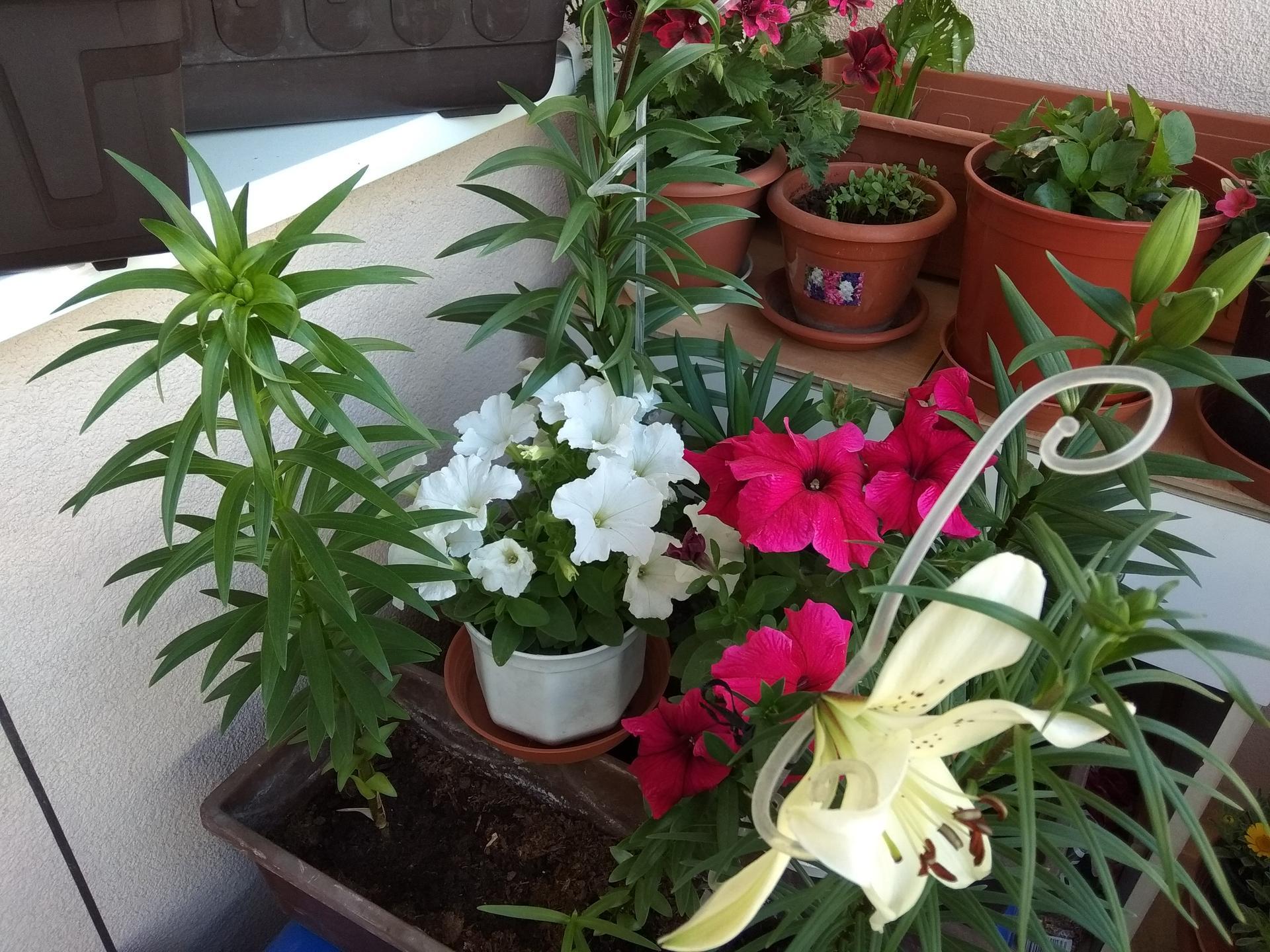 Moje balkónové kvetinkové miš - maš 🙂🌻🥀🍀🌸 - Obrázok č. 17