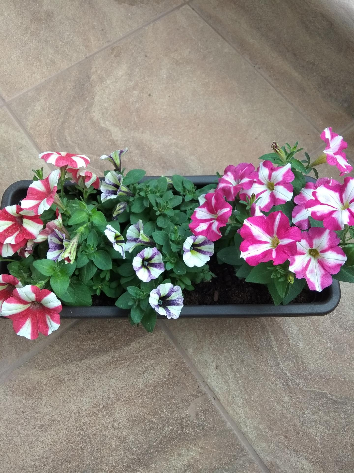 Moje balkónové kvetinkové miš - maš 🙂🌻🥀🍀🌸 - Obrázok č. 24