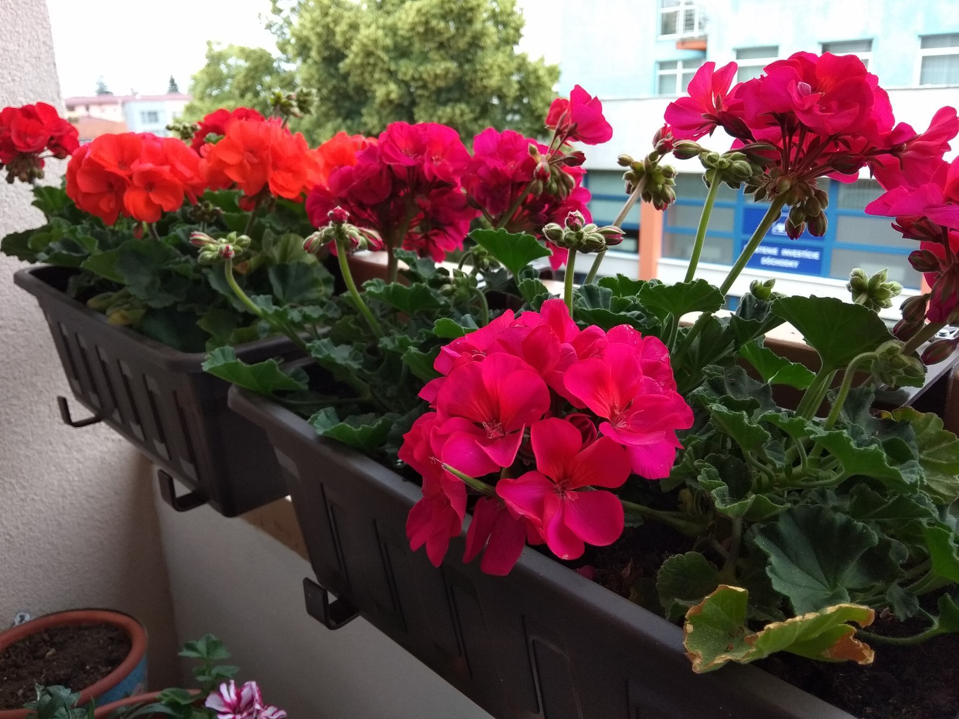 Moje balkónové kvetinkové miš - maš 🙂🌻🥀🍀🌸 - Obrázok č. 49