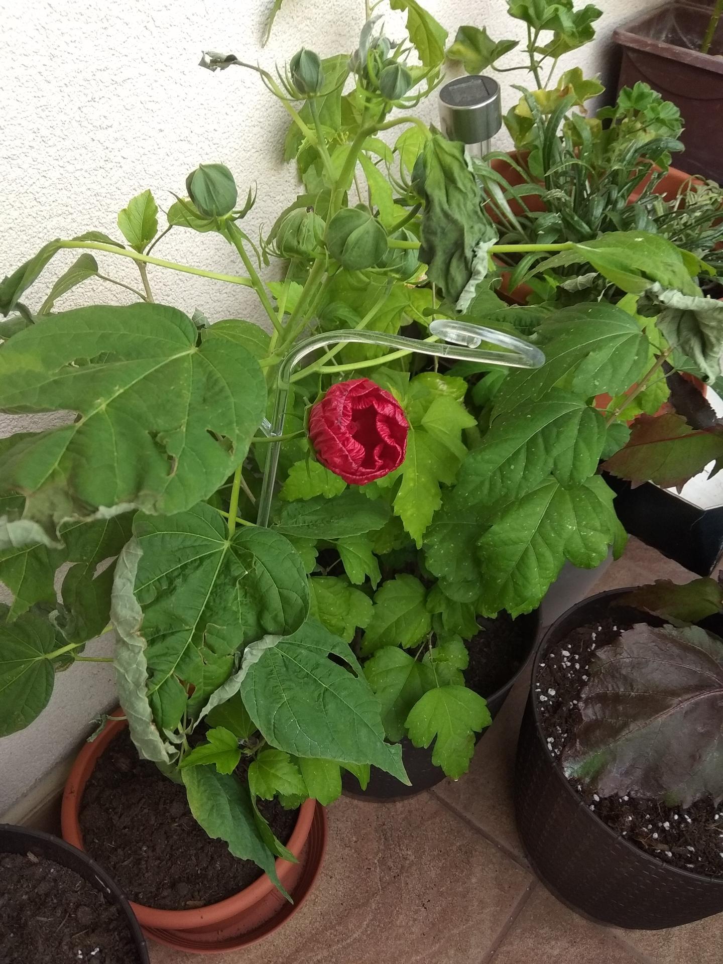 Moje balkónové kvetinkové miš - maš 🙂🌻🥀🍀🌸 - Obrázok č. 63