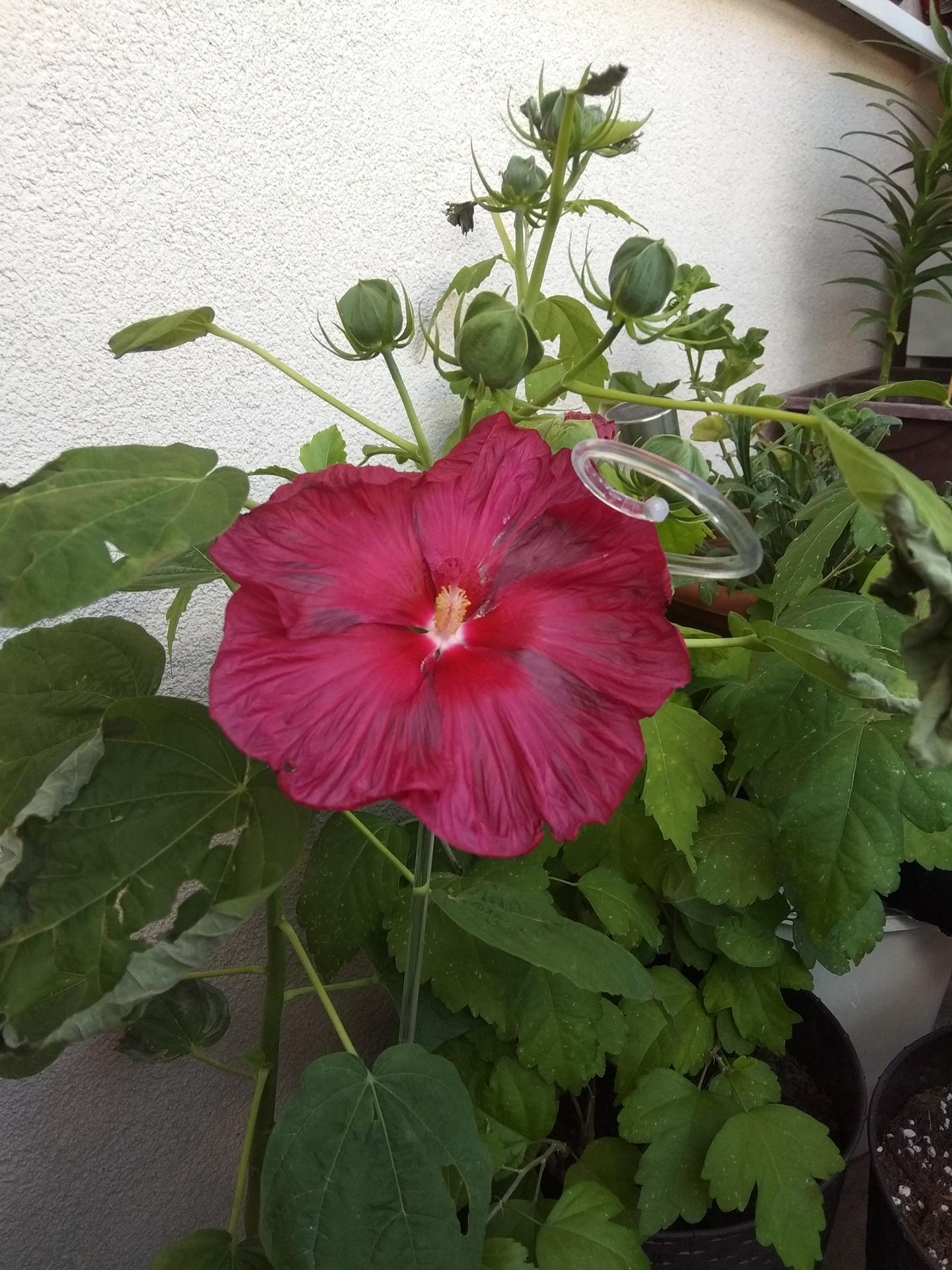Moje balkónové kvetinkové miš - maš 🙂🌻🥀🍀🌸 - Obrázok č. 64
