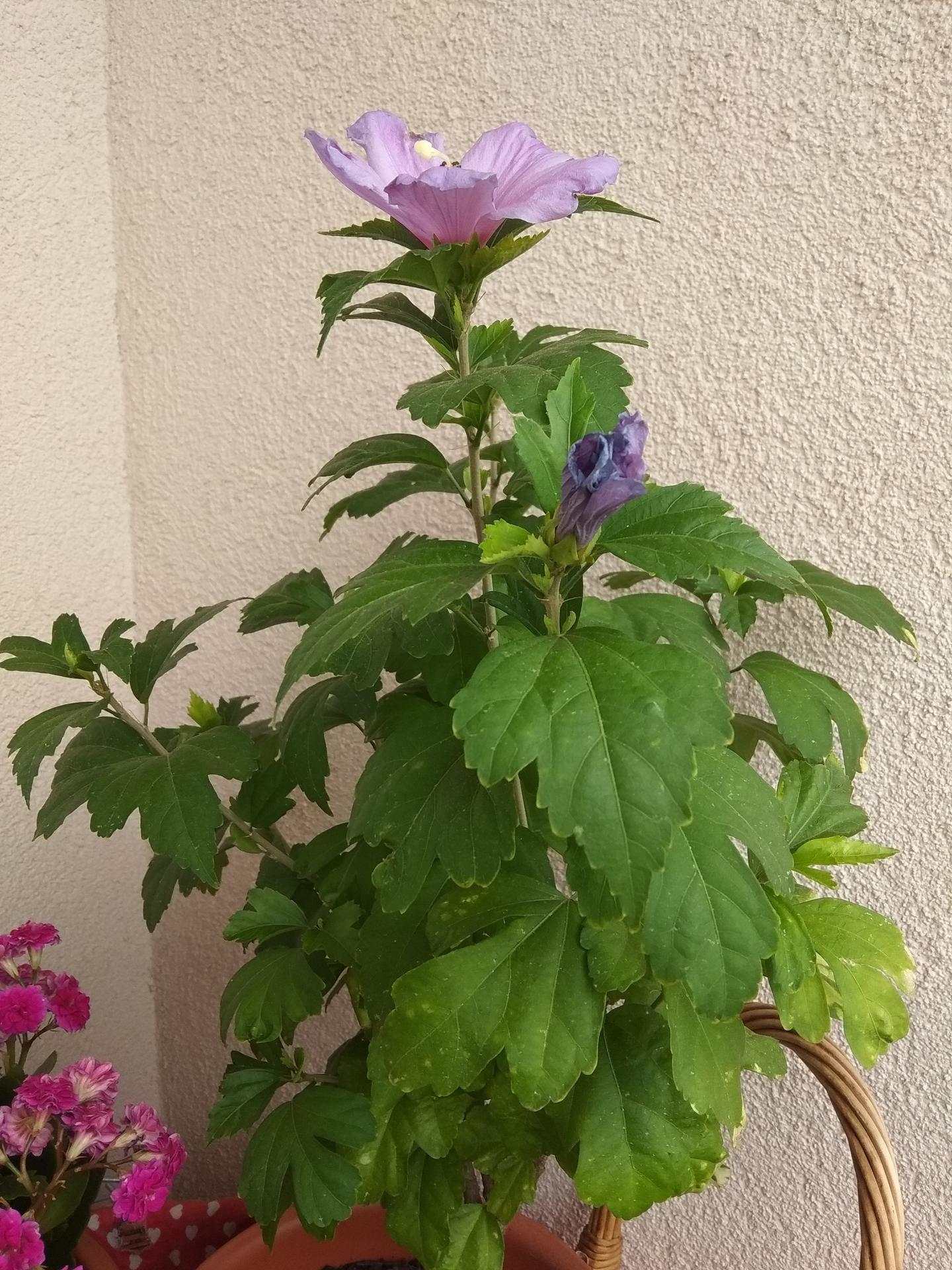 Moje balkónové kvetinkové miš - maš 🙂🌻🥀🍀🌸 - Obrázok č. 62