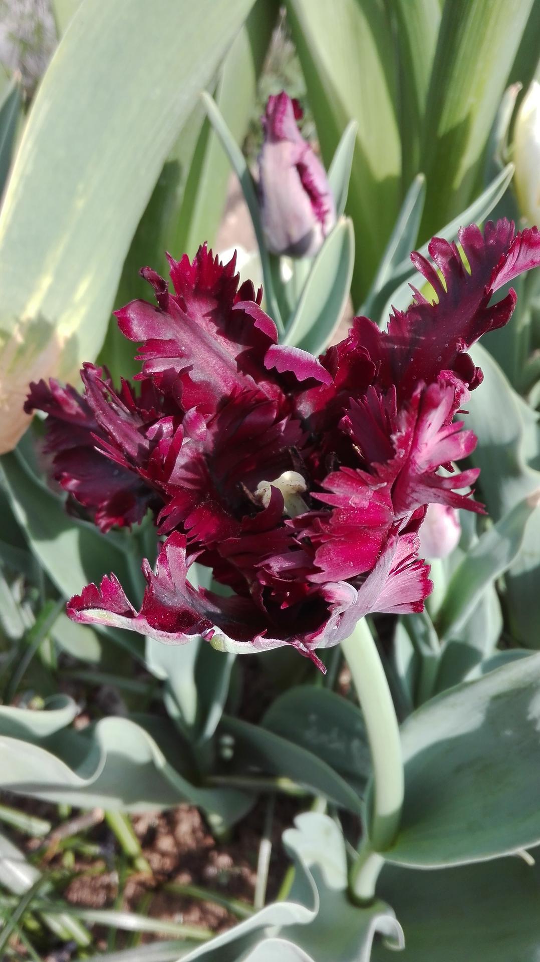 záhrada - motýľokvetý tulipán Black Parrot