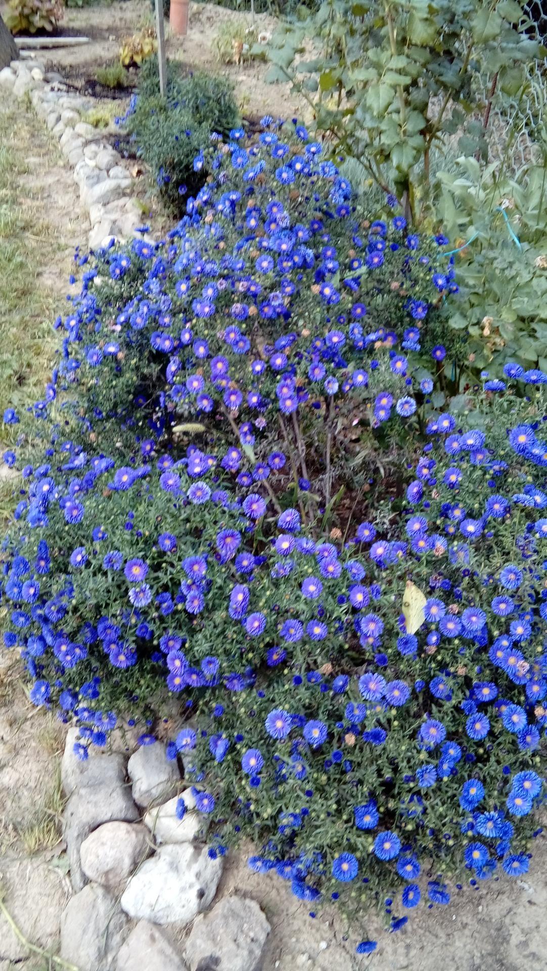 záhrada - astra novobelgická, trochu som to nedomyslela, lebo je veľká, tak dúfam, že ju môžem ostrihať.