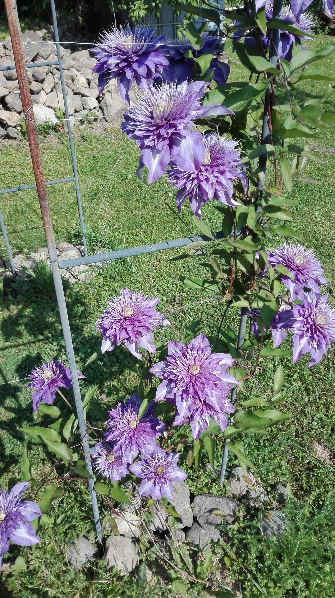 záhrada - takto sa za 6 dní pekne rozvinul...