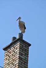 No a tento krásavec síce nie je z našej stavby, ale nedalo mi to....takto dnes pózoval u našich na komíne a potom aj na streche. Nádherný bol.