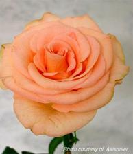 Doufám, že v květinářství seženou takovéhle růže