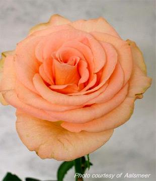 Mé červnové sny - Doufám, že v květinářství seženou takovéhle růže