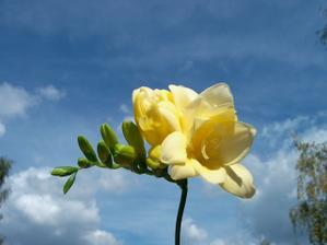 Moje nejmilovanější květinka... Ale ještě nevím, jesli bude ve svatební kytici taky.