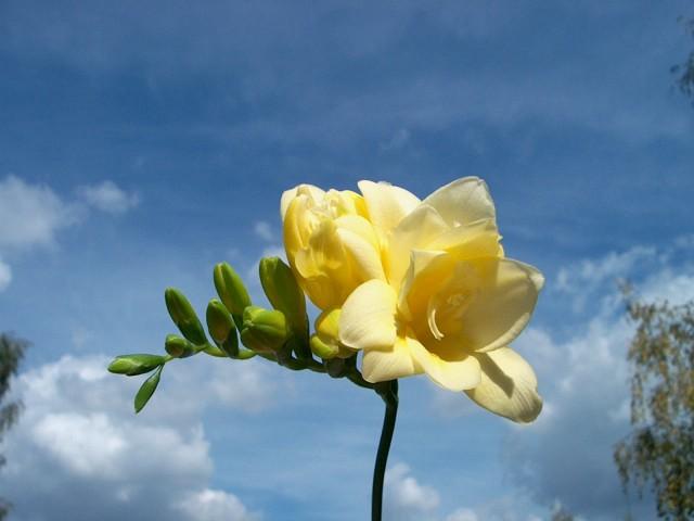 Mé červnové sny - Moje nejmilovanější květinka... Ale ještě nevím, jesli bude ve svatební kytici taky.