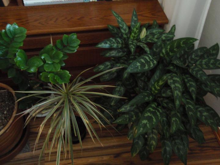 Moja záluba-kvetinky.. - zamiokulkas,aglanoema,dracena..