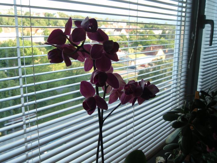 Moja záluba-kvetinky.. - orchidea