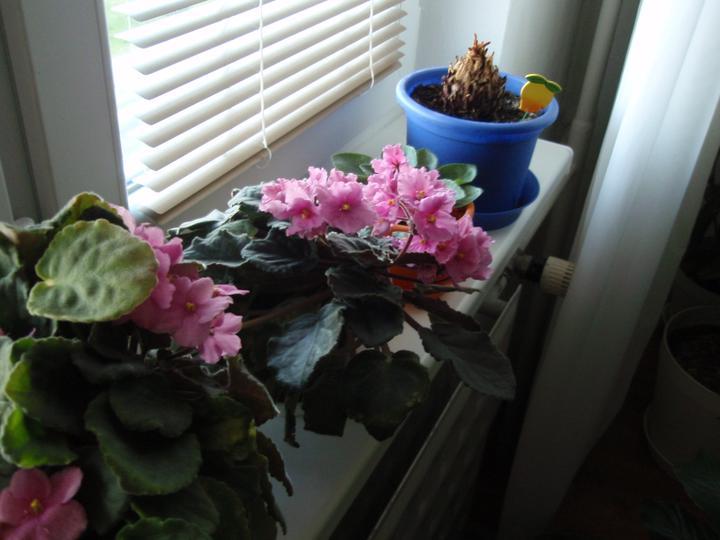 Moja záluba-kvetinky.. - fialky..