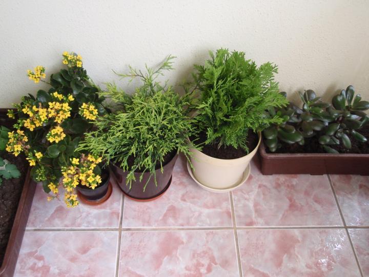 Moja záluba-kvetinky.. - kalanchoe,tuje,tucnolist
