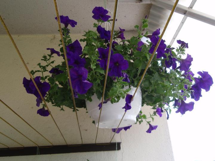 Moja záluba-kvetinky.. - petunie