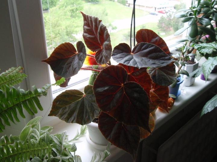 Moja záluba-kvetinky.. - begonia
