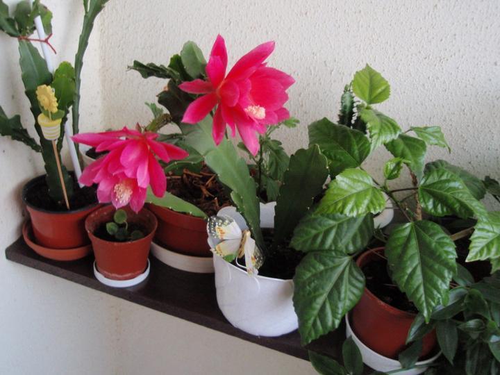 Moja záluba-kvetinky.. - kaktus list,cinska ruza