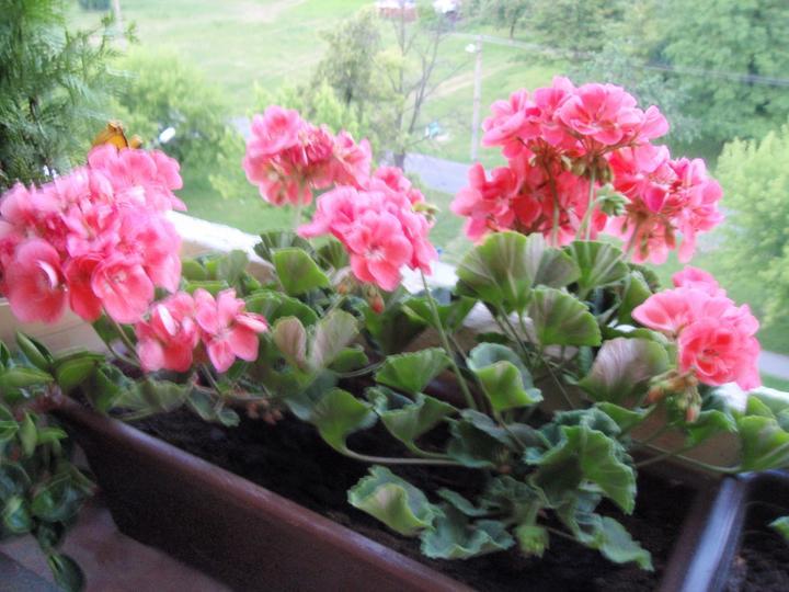 Moja záluba-kvetinky.. - muskaty