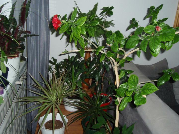 Moja záluba-kvetinky.. - dracena,juka,cinska..