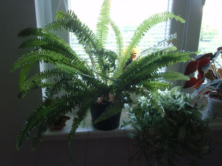 Moja záluba-kvetinky.. - paprad,tradeskancia,begonia