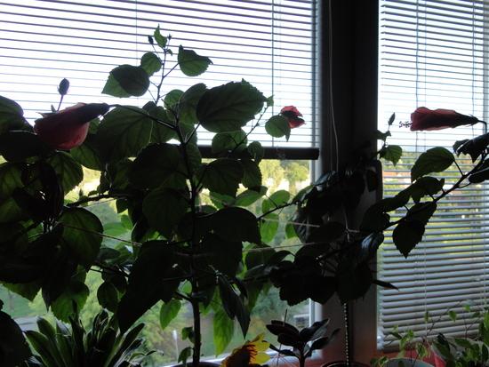 Moja záluba-kvetinky.. - cinska cervena,neustale kvitne