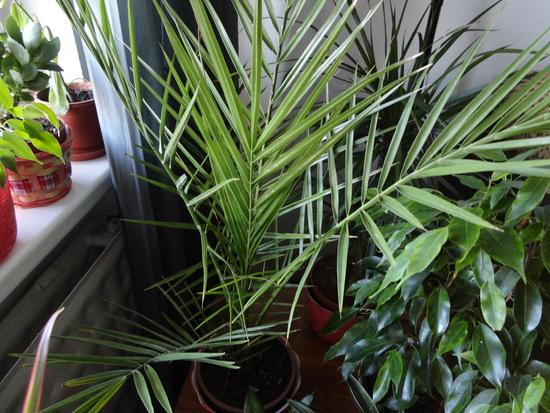 Moja záluba-kvetinky.. - palma datlova nova...zial stara po 20r.odisla:)