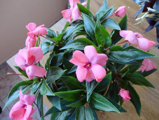 Moja záluba-kvetinky.. - netykavka..potrebuje velaa vody