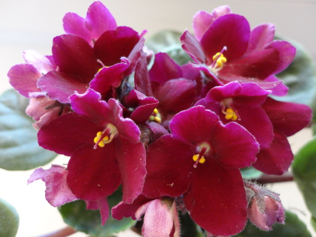 Moja záluba-kvetinky.. - bordova fialka