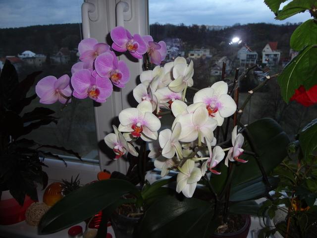 Moja záluba-kvetinky.. - orchidee