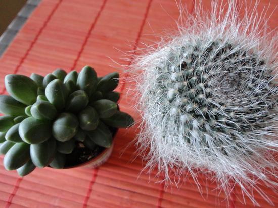 Moja záluba-kvetinky.. - sukulent,kaktus