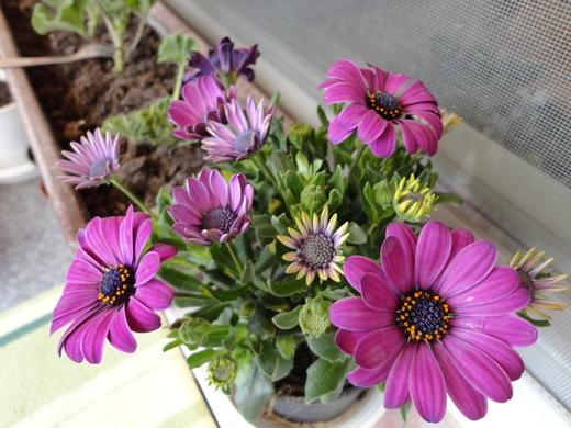Moja záluba-kvetinky.. - osteospermum