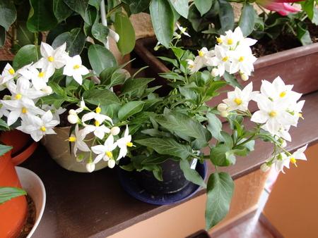 Moja záluba-kvetinky.. - jazmin