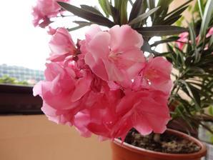oleander..
