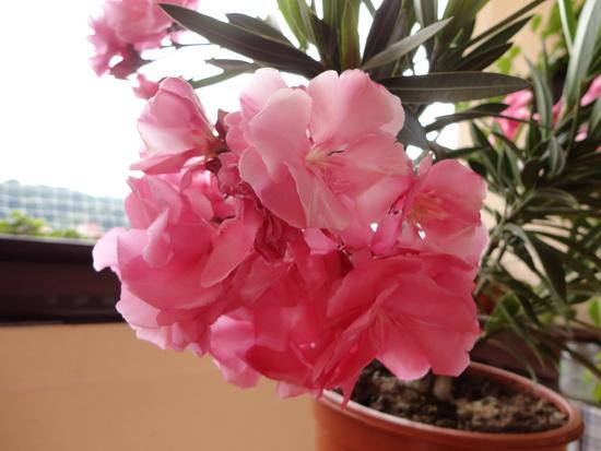 Moja záluba-kvetinky.. - oleander..