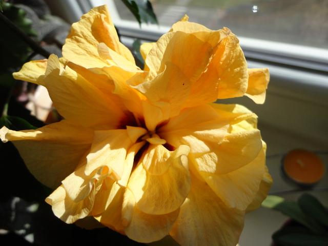 Moja záluba-kvetinky.. - tato cinanka vydrzi kvitnut 3dni..