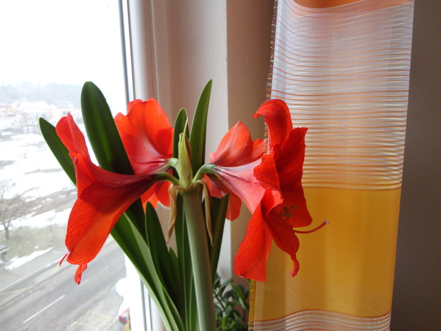 Moja záluba-kvetinky.. - zornica...kvitne druhý krát a ide piaty puk:)