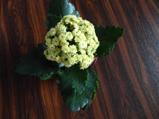 Moja záluba-kvetinky.. - kalanchoe