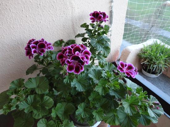 Moja záluba-kvetinky.. - anglický muškát
