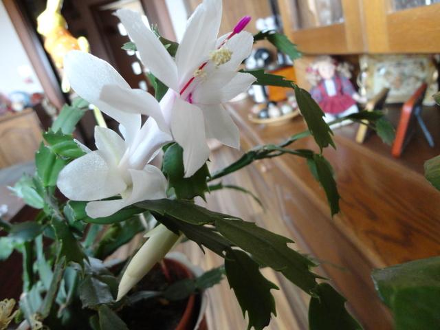 Moja záluba-kvetinky.. - začalo sa druhé kvitnutie-vianoč.kaktus:)