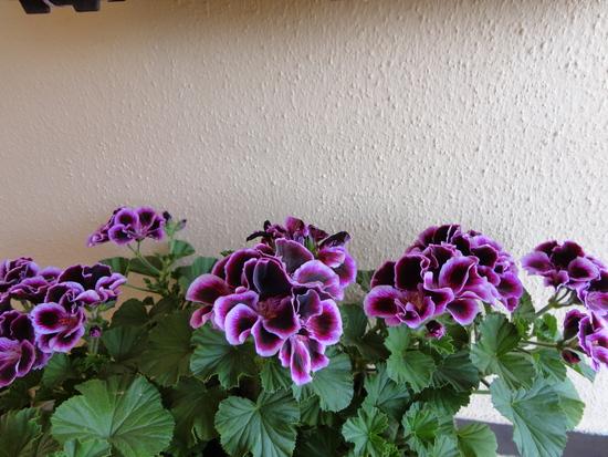 Moja záluba-kvetinky.. - ang.muškát