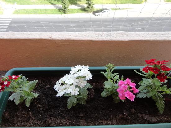 Moja záluba-kvetinky.. - čerstvo zasadené-verbeny kríčkové